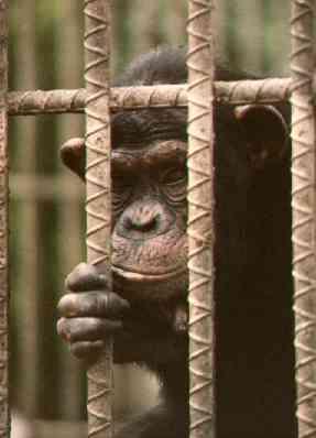 Los Verdes piden una reforma del Código Penal que incluya la tipificación como delito del maltrato a los grandes simios