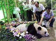 Muere a los 36 años el panda en cautividad más anciano del mundo