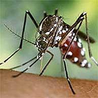 La amenaza del mosquito tigre