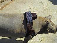 GPS en los cerdos extremeños