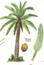 Elogio de la palmera canaria