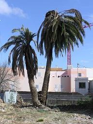 Turcón-Ecologistas en Acción denuncia el estado lamentable de dos palmeras de Telde