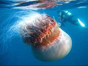 Medusas gigantes invaden las costas de Japón