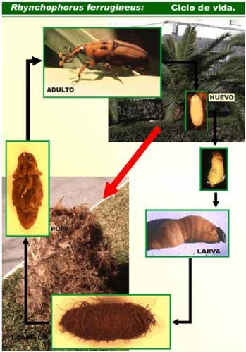 El descontrol del Gobierno de Canarias en materia medioambiental permite que llegue a las Islas una plaga de escarabajos mortal para la palmera canaria