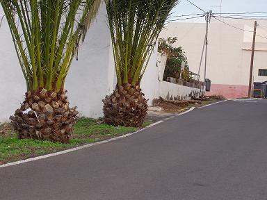 Turcón denuncia la tala de palmeras en el Lomo Blanco