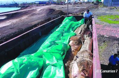 Agricultura tardará todavía 10 días en cerrar la entrada de palmeras importadas a Canarias