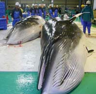 Carne de ballena enlatada para perros, a la venta en Japón
