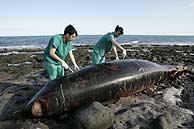 Dos ballenas muertas llegan a Gran Canaria