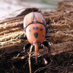 La Consejería de Medio Ambiente encarga actuaciones para combatir la plaga del picudo rojo