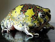 Descubierta en China una rana que se comunica por ultrasonidos
