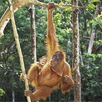 Escuela de orangutanes: los monos de Sumatra se transmiten su cultura para comer miel, hacer utensilios y darse las 'buenas noches'