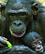 El proyecto Gran Simio busca defender los derechos de estos animales equiparándolos con los humanos