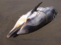 Crónica y fotos de cómo encontramos un delfín muerto en las costas de Telde.
