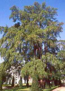 Salvar los árboles centenarios de Madrid.