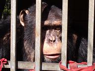 Solicitan liberación para un chimpancé en Tenerife