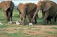 El elefante contra el hombre en estado oriental de la India