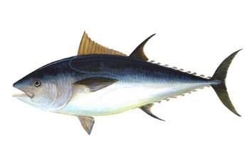 Devastación del atún rojo en Mediterráneo y Atlántico