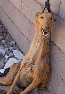 Masacre de Galgos: los galgos en España siguen siendo ahorcados.