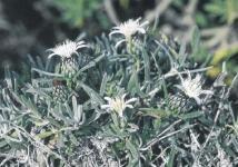La piña de Mar, especie botánica única en el mundo