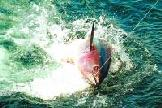 Canarias entra en la investigación internacional de cultivo del atún