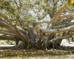 Caída de Ficus en Las Palmas de Gran Canaria