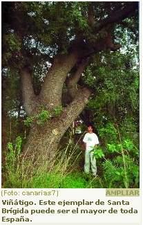 Gigantes en las Hespérides: árboles singulares y monumentales de las Islas Canarias