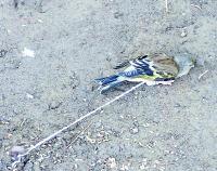 Denunciado por capturar aves protegidas en Las Palmas de Gran Canaria
