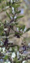 El Instituto Canario del Cáncer halla un compuesto prometedor contra el mal en una planta isleña