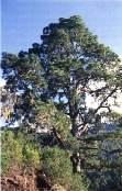 El Cabildo de Gran Canaria quiere ´clonar´ los pinos centenarios de los altos de Gáldar