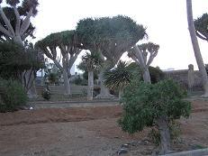 Turcón denuncia el abandono de los dragos de Salinetas