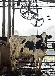 Las vacas se 'refrescan' en el Caribe para producir leche y electricidad