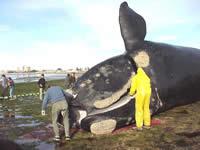 """Informe de Oceana """"Muerte de cetáceos por el uso de sónar LFAS en las maniobras militares navales"""""""